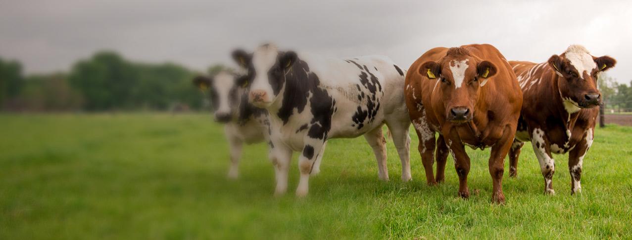 beefbest-slide-koeien